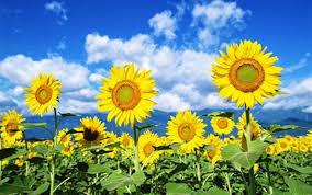 Mơ thấy hoa hướng dương nhận định chuyên gia