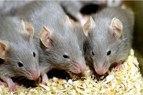 Nằm mơ thấy chuột đánh con gì 1